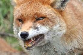 Kolejne przypadki wścieklizny u lisów wolno żyjących na terenie województwa mazowieckiego